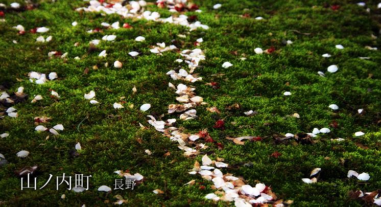 山ノ内町の桜