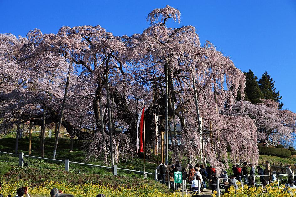 三春の滝桜 撮影日:2007.4.15・2008.4.21  三春の滝桜 - DA... 三春の