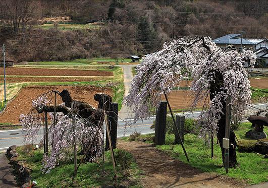光徳寺のしだれ桜