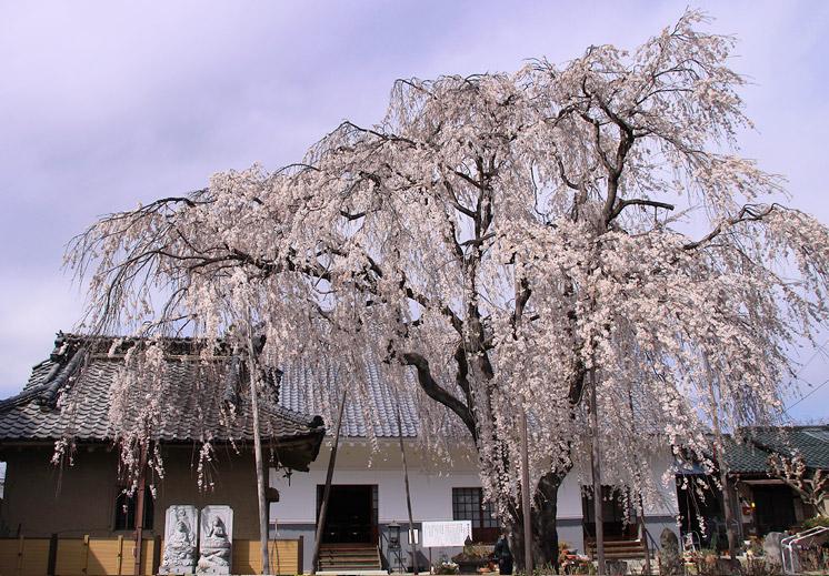 福寿院のしだれ桜 福寿院のしだれ桜 道路からすぐ見える位置にあり、駐車場(4、5台程度)...